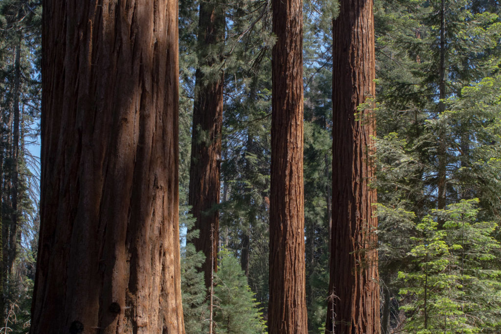 Giant Sequoia sequoias
